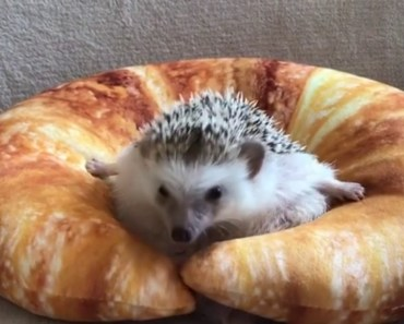 Grumpy Hedgehog Gets Stuck In Croissant - grumpy hedgehog gets stuck in croissant