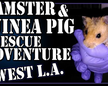 Hamster and Guinea Pig Rescue Adventure - West L.A. - hamster and guinea pig rescue adventure west l a