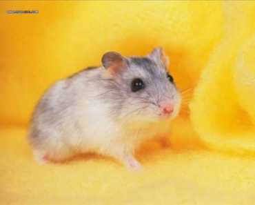Hamster Dance Song -[Orginal] - hamster dance song orginal