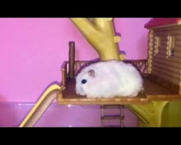 Hamster   Hamster Cage Tour   Cute Hamster Doing Funny Things Part 39 - hamster hamster cage tour cute hamster doing funny things part 39