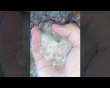 Hamster   Hamster Cage Tour   Cute Hamster Doing Funny Things Part 42 - hamster hamster cage tour cute hamster doing funny things part 42