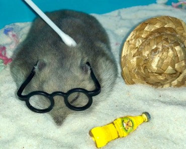 Hamster Remedy for a Hamster Hangover - hamster remedy for a hamster hangover