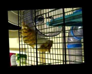 hamster running on top of exercise wheel funny - hamster running on top of exercise wheel funny