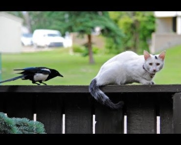MAGPIES Teasing And Annoying CATS - Cute And Funny Magpie Videos Compilation 2018 [BEST OF] - magpies teasing and annoying cats cute and funny magpie videos compilation 2018 best of