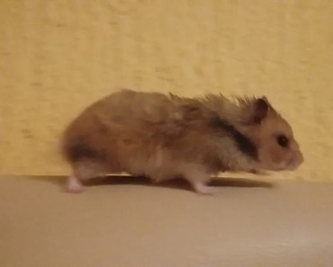 My crazy hamster - my crazy hamster