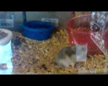 Funny hamster - 1525887717 funny hamster