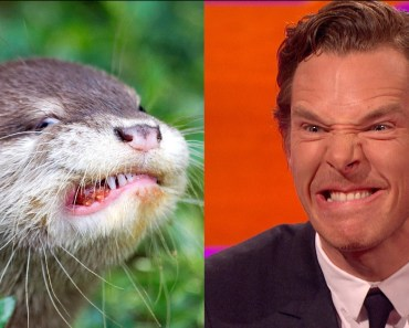 Benedict Cumberbatch's resemblance to an otter – The Graham Norton Show: Series 18 Episode 9 – BBC - benedict cumberbatchs resemblance to an otter the graham norton show series 18 episode 9 bbc