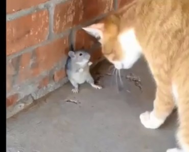 Cat and Mouse Playing Together - Funny Cats Videos COMPILATION 2018 - cat and mouse playing together funny cats videos compilation 2018