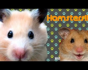 Cute and Funny Hamster Compilation-//Hamster Funniest - cute and funny hamster compilation hamster funniest