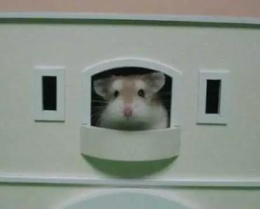 Cute & Funny #12 - Roborovski Hamster - cute funny 12 roborovski hamster
