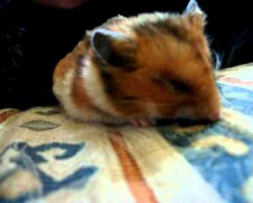 Dying breath of a golden hamster I - dying breath of a golden hamster i