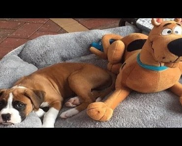 Funniest Boxer Dog Video Compilation #11 - Funny Dogs Videos 2018 - funniest boxer dog video compilation 11 funny dogs videos 2018
