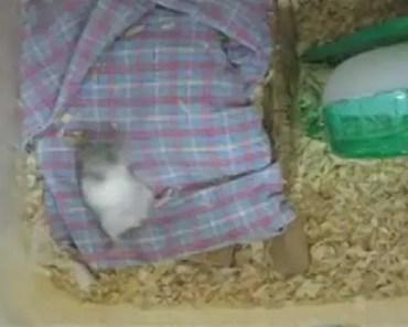 Funny Hamster Getting Practice Back Sliding or BackStroke(?) all day ... - funny hamster getting practice back sliding or backstroke all day