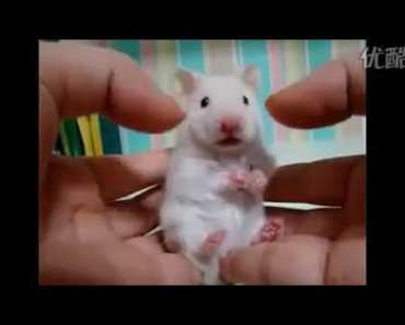 Funny reaction of the mouse when he eats hot pepper - funny reaction of the mouse when he eats hot pepper