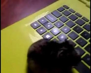 HAMSTER JUGANDO EN PC 100% REAL NO FAKE 1 link mega [ACTUALIZADO][21-12-16] - hamster jugando en pc 100 real no fake 1 link mega actualizado21 12 16