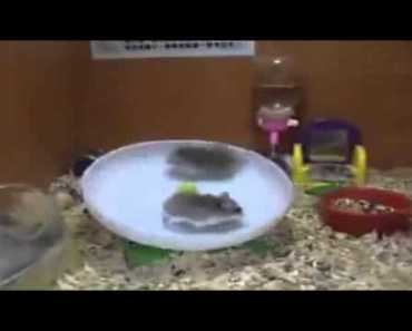 Hamster treadmill fail - hamster treadmill fail