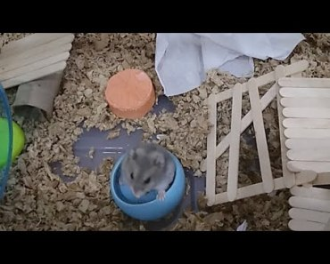 Hamster Watch - Live Stream Everyday Life of a Hamster - hamster watch live stream everyday life of a hamster