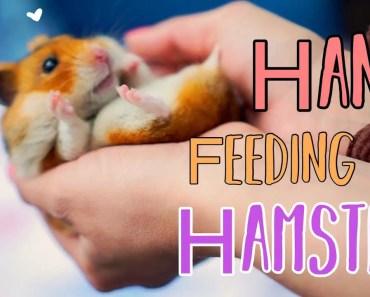 Hand Feeding My Hamster - hand feeding my hamster