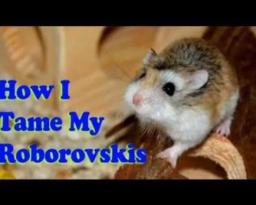 How To Tame A Roborovski Dwarf Hamster (The Method I use) - how to tame a roborovski dwarf hamster the method i use