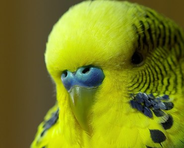 Meet Disco the incredible talking budgie - Pets - Wild at Heart: Episode 1 Preview - BBC One - meet disco the incredible talking budgie pets wild at heart episode 1 preview bbc one