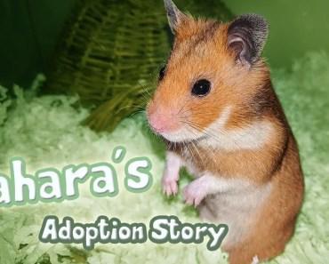Meet Sahara | My Syrian Hamster Adoption Story - meet sahara my syrian hamster adoption story