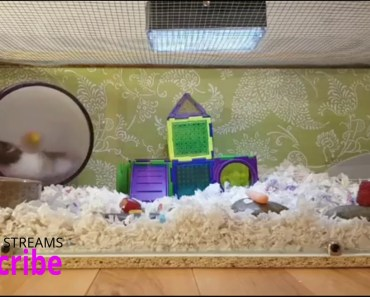 The Best of Nibbles- Original Cage/ Cute funny Hamster Fails - the best of nibbles original cage cute funny hamster fails