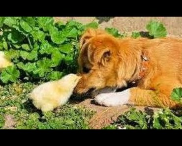 Baby Chicks Meet Puppies And Dogs - Cutest Animal Videos Compilation 2018 [BEST OF] - baby chicks meet puppies and dogs cutest animal videos compilation 2018 best of