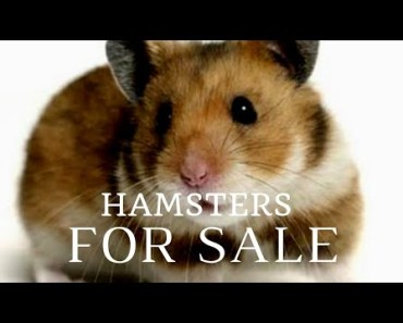 Best Pair of Hamster for sale... - best pair of hamster for sale