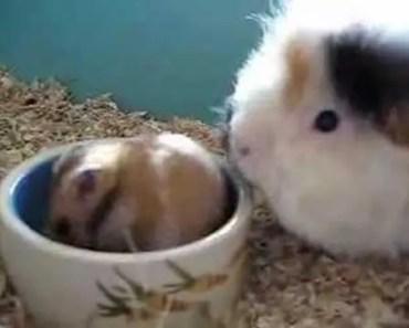 Cavia en Hamster (Guinea pig and Hamster) - cavia en hamster guinea pig and hamster