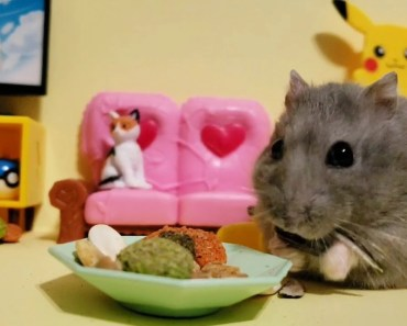 Cute Munchkin Hamster Munches On Treats while watching Tv - cute munchkin hamster munches on treats while watching tv