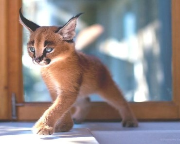 Cutest Baby Caracal Compilation! - cutest baby caracal compilation