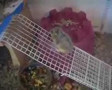 Dwarf Hamster - Funny Video - Part 2 - dwarf hamster funny video part 2