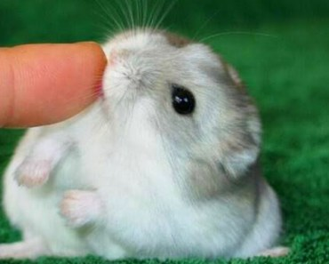 Funny And Cute Dwarf Hamster Ever - funny and cute dwarf hamster ever