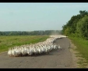 GOOSE ARMY - Funny Animal Videos Compilation 2018 [BEST OF] - goose army funny animal videos compilation 2018 best of