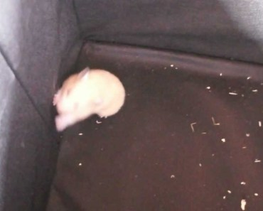 Hamster escape (really funny) - hamster escape really funny