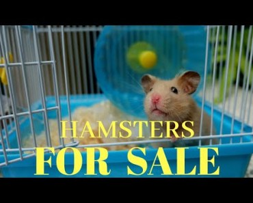 Hamsters with cage for sale... best price - hamsters with cage for sale best price