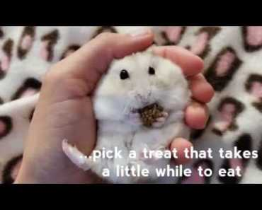 How To Train Your hamster to be held on in it's back [Hamster Care Tips] - how to train your hamster to be held on in its back hamster care tips