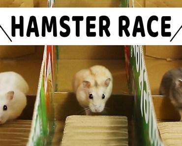 Making Race From Cardboard For Three Cute Hamsters- Mochi ToTo And Chip- DIY Hamster - making race from cardboard for three cute hamsters mochi toto and chip diy hamster