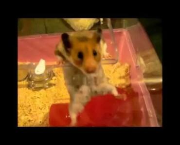 Mousse the funny hamster - mousse the funny hamster