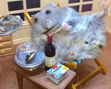 Spoilt Dwarf Hamster enjoys pampering room service - spoilt dwarf hamster enjoys pampering room service