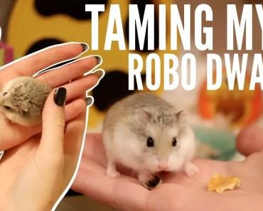 TAMING MY ROBOROVSKI HAMSTER - taming my roborovski hamster
