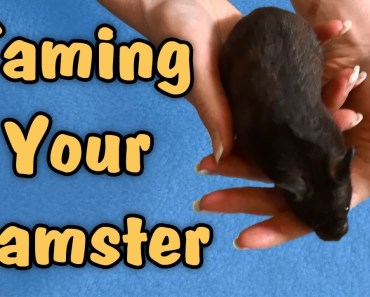 TAMING YOUR HAMSTER - Tips & Talk - taming your hamster tips talk