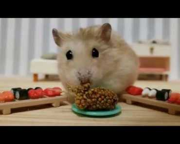 This pampered hamster is cuteness overload! [ CUTE HAMSTER VID] - this pampered hamster is cuteness overload cute hamster vid
