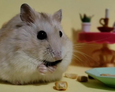 Tiny Hamster in tiny restaurant [Cute Hamster Vid] - tiny hamster in tiny restaurant cute hamster vid