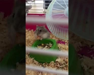 Cute hamster - 1532550478 cute hamster