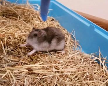 Angry Hamster - angry hamster