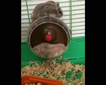 Chubby - the hamster looking for bed. Funny video #madebyVanilla (Vanilla) - chubby the hamster looking for bed funny video madebyvanilla vanilla