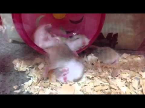 Crazy funny hamster sleeping - Hamster Care Sheet & Guide