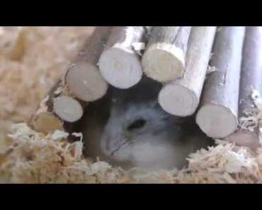 Cute And Funny Hamster Clips | Kalli - cute and funny hamster clips kalli