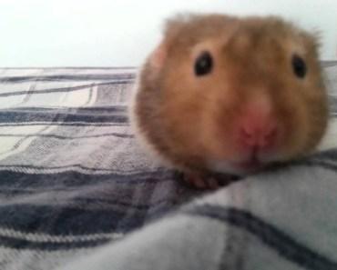 Cute hamster falling asleep - cute hamster falling asleep